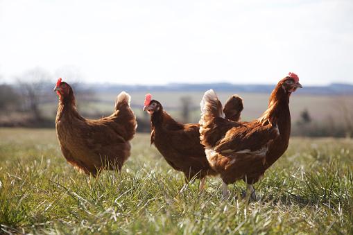 Hen「Free range Rhode Island Red chickens roaming in grass meadow」:スマホ壁紙(13)