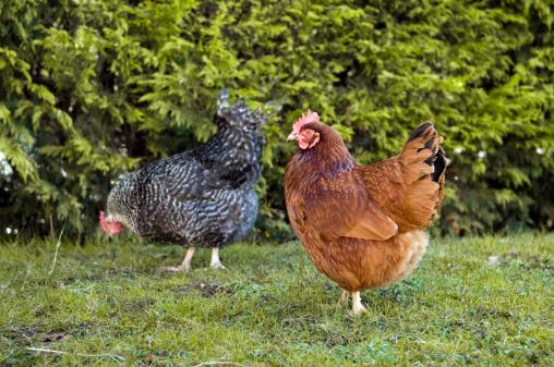 Hen「Free range chickens in garden」:スマホ壁紙(11)