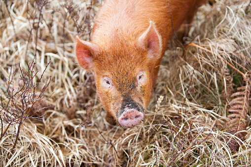 Chestnut - Food「A free range pig on the Isle of Raasay, Scotland, UK.」:スマホ壁紙(18)