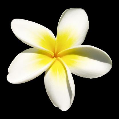 Hawaiian Culture「Indian jasmine on black (frangipani)」:スマホ壁紙(16)