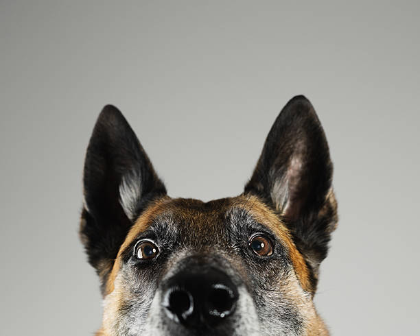 Malinois dog studio portrait:スマホ壁紙(壁紙.com)