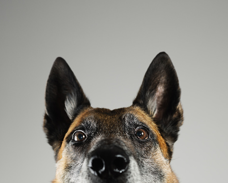 Brown Hair「Malinois dog studio portrait」:スマホ壁紙(17)