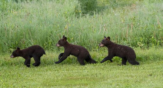 Bear Cub「Wild, young black bear cubs running at edge of meadow.」:スマホ壁紙(18)