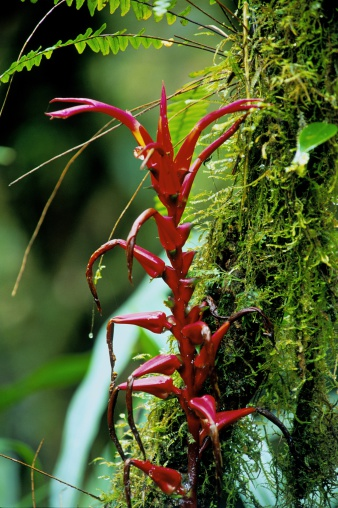 Inflorescence「Heliconia Species, Inflorescence, Cloud Forest, La Planada, Colombia」:スマホ壁紙(15)