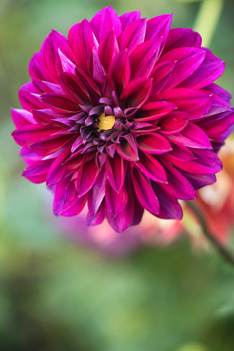 flower「Dahlia 'Boogie Nites' Flower Close-up」:スマホ壁紙(4)