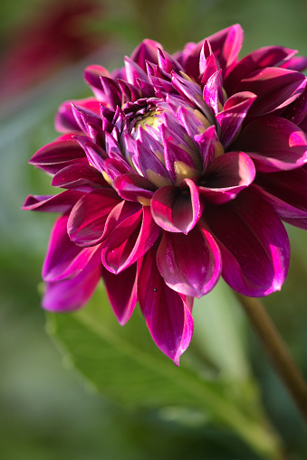 flower「Dahlia 'Boogie Nites' Flower Close-up」:スマホ壁紙(19)