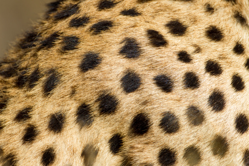 ヒョウ柄「Cheetah Fur, Ndutu Plains, Tanzania」:スマホ壁紙(16)