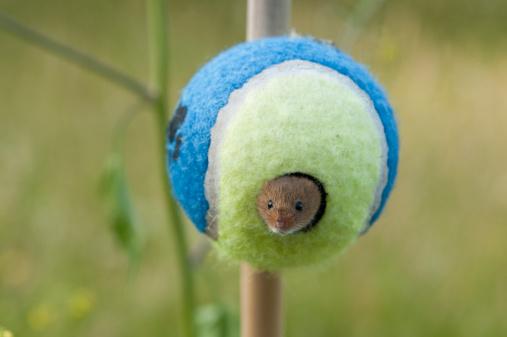 Mouse - Animal「Harvest Mouse (Micromys minutus) in tennis ball, Norfolk, United Kingdom」:スマホ壁紙(16)