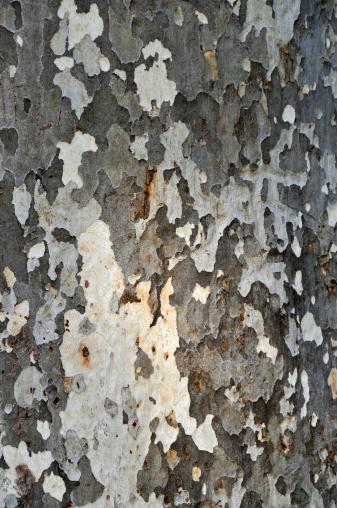 セイヨウカジカエデ「tree bark」:スマホ壁紙(2)