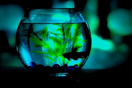 熱帯魚「Fish bowl; Siamese fighting fish (Betta splendens)」:スマホ壁紙(5)