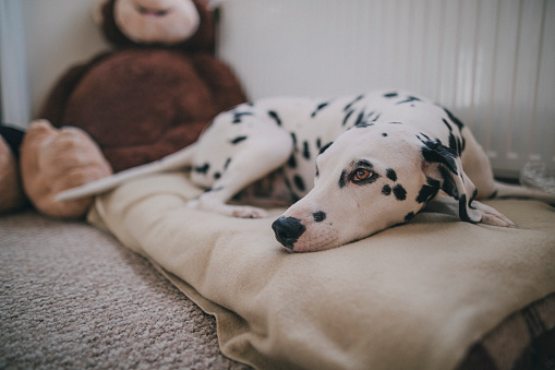 Stuffed Animals「Dog Resting in Bed」:スマホ壁紙(9)