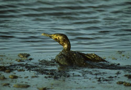 Bird「oiled cormorant, phalacrocorax nigrogularis, bahrain, arabian gulf    」:スマホ壁紙(3)