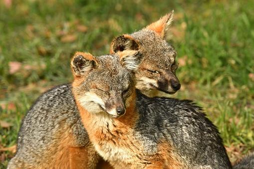 Animals Hunting「Island Fox」:スマホ壁紙(8)