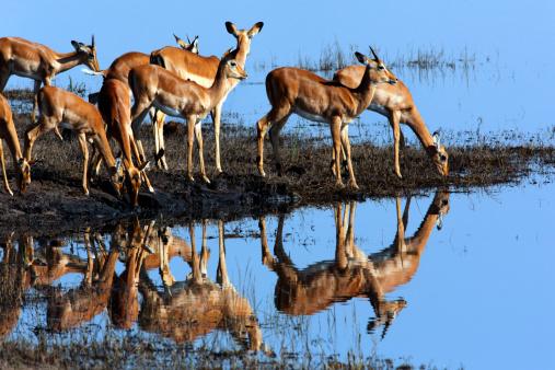 Gazelle「Impala」:スマホ壁紙(18)