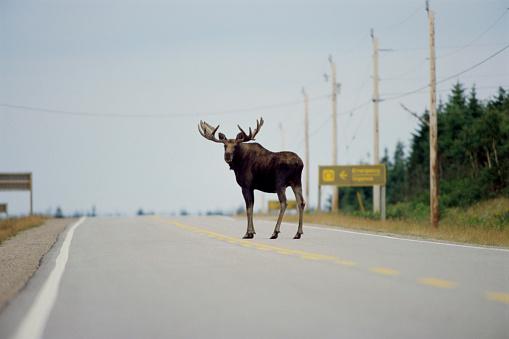 Telephone Pole「Moose Standing in Highway」:スマホ壁紙(16)