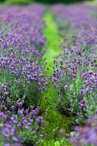 花畑「フィールドにラベンダー色の花」:スマホ壁紙(0)