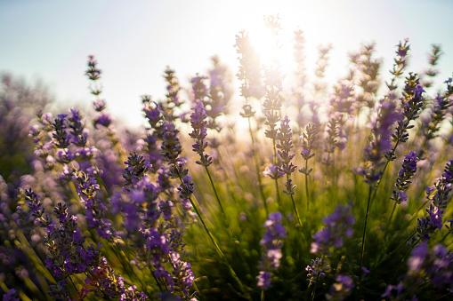 French Lavender「Lavender flowers」:スマホ壁紙(6)