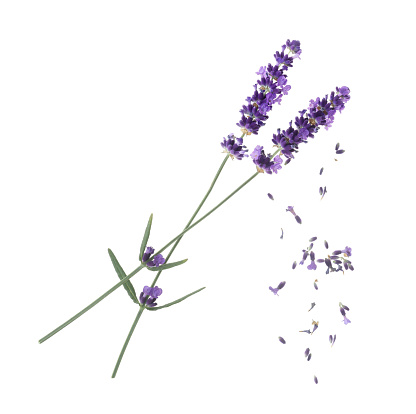 Sensory Perception「Lavender flowers with falling florets on white.」:スマホ壁紙(8)
