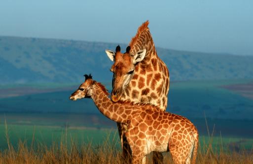 Giraffe「Giraffe (Giraffa camelopardalis) Female with Calf」:スマホ壁紙(5)