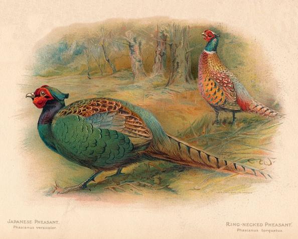 Environmental Conservation「'Japanese Pheasant (Phasaianus versicolor), Ring-Necked Pheasant (Phasaianus torquatus)', 1900, (190 Artist: Charles Whymper」:写真・画像(17)[壁紙.com]