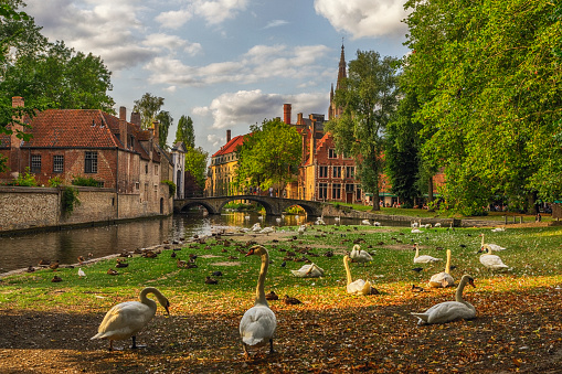 Flock Of Birds「Swans in a Public Park in Bruges, Belgium」:スマホ壁紙(15)