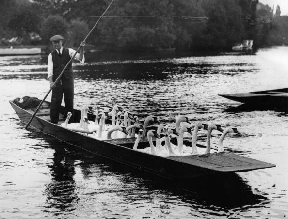 ヘンリーロイヤルレガッタ「Swans in a rowboat: because of the Henley regatta swans are relocated in another water, England, Photograph, Around 1930」:写真・画像(2)[壁紙.com]