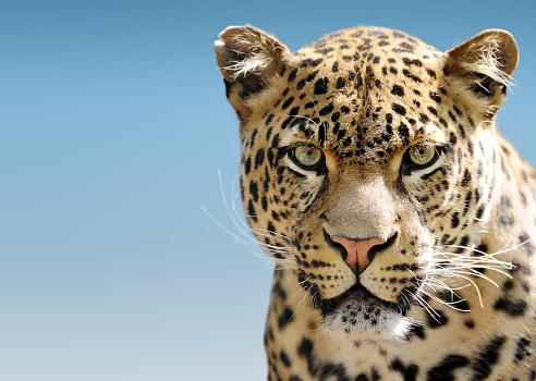 Leopard「Leopard Against Blue Sky」:スマホ壁紙(11)