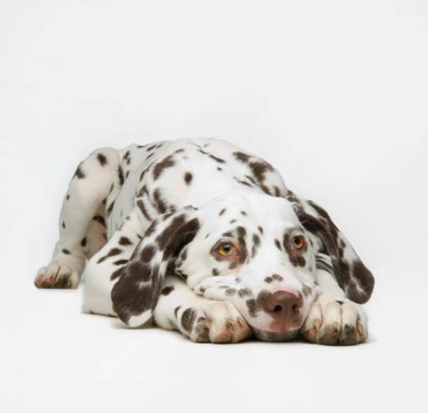 Dalmaton pup:スマホ壁紙(壁紙.com)