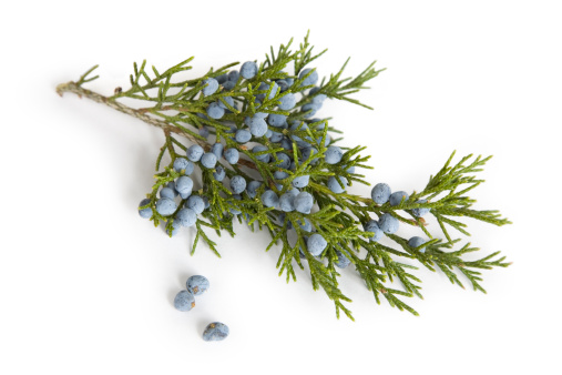 Juniper Tree「Branch and Berries  of Juniper (Cedar) Tree」:スマホ壁紙(0)