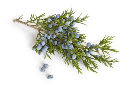 Branch - Plant Part「Branch and Berries  of Juniper (Cedar) Tree」:スマホ壁紙(15)