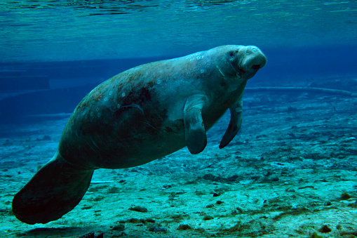 Shallow「A West Indian Manatee in the shallow freshwater of Fannie Springs, Florida.」:スマホ壁紙(10)