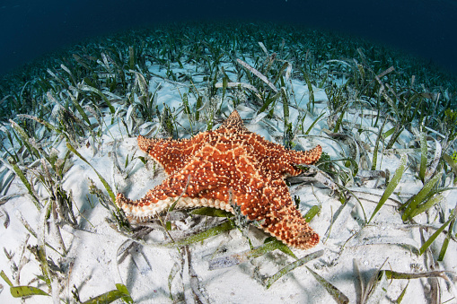 Soft Coral「A West Indian starfish on the seafloor in Turneffe Atoll, Belize.」:スマホ壁紙(10)