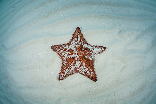 Omnivorous「A West Indian starfish on the seafloor in Turneffe Atoll, Belize.」:スマホ壁紙(3)