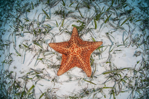Omnivorous「A West Indian starfish on the seafloor in Turneffe Atoll, Belize.」:スマホ壁紙(4)