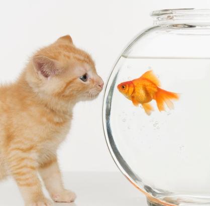 金魚「Kitten and goldfish looking at each other」:スマホ壁紙(14)
