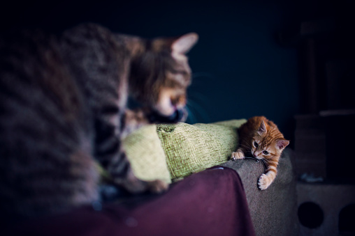 Kitten「Kitten and adult cat playing on the top of a couch at home」:スマホ壁紙(12)