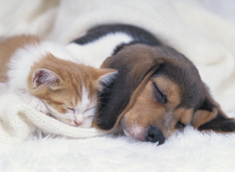 子猫「Kitten and Beagle Puppy Sleeping」:スマホ壁紙(6)