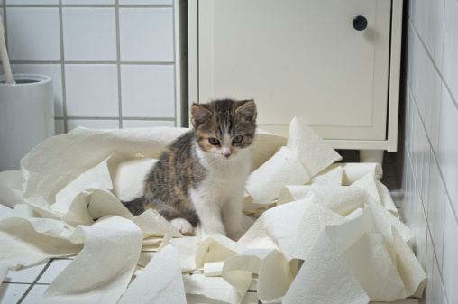 Kitten「Kitten and Toilet Paper」:スマホ壁紙(13)