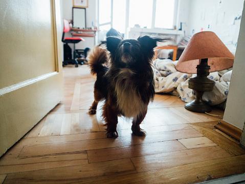Lap Dog「Pekingese dog barking」:スマホ壁紙(7)