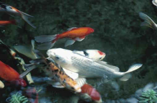 Carp「Koi carp fish in a pond」:スマホ壁紙(18)
