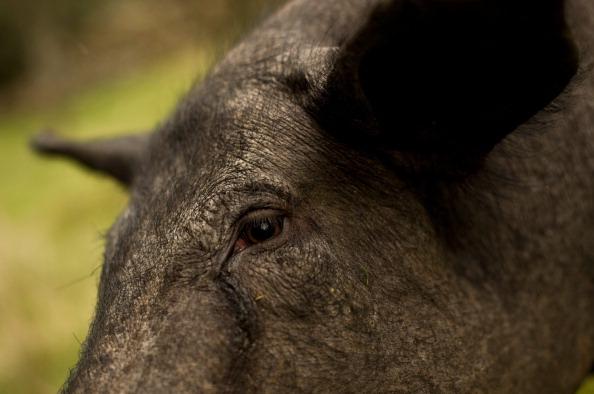 Animal Eye「Spanish Jamon Iberico Industry Prepares For Busy Christmas Period」:写真・画像(8)[壁紙.com]