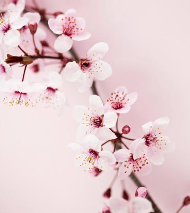 桜「桜の」:スマホ壁紙(12)