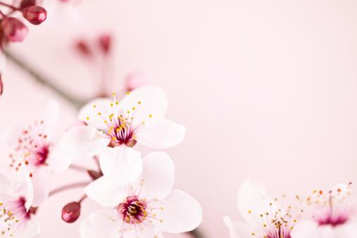 桜「桜の」:スマホ壁紙(14)