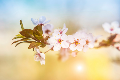 Oriental Cherry Tree「桜の」:スマホ壁紙(9)