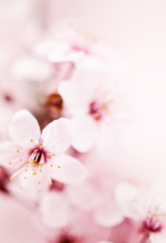 梅の花「桜の」:スマホ壁紙(18)