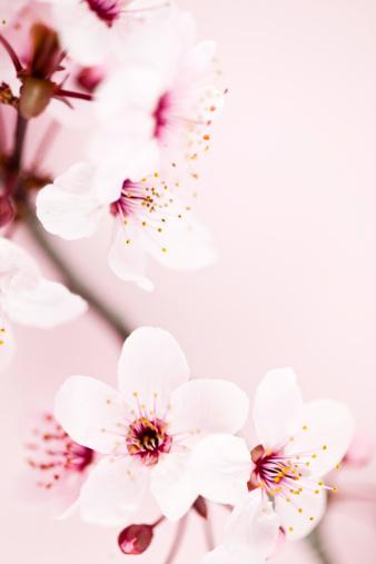 梅の花「桜の」:スマホ壁紙(17)