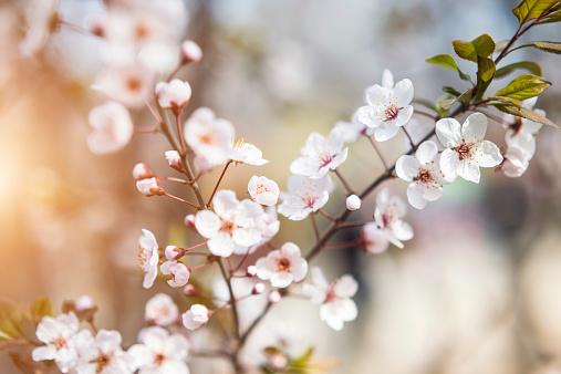 梅「桜の」:スマホ壁紙(13)