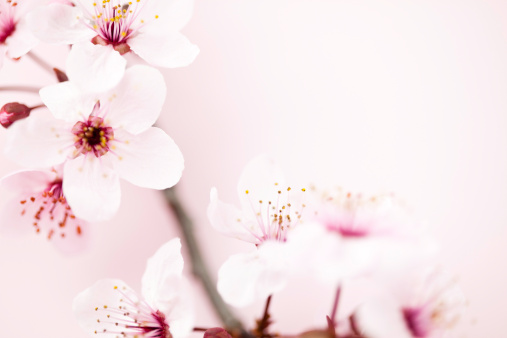 サトザクラ「桜の」:スマホ壁紙(19)