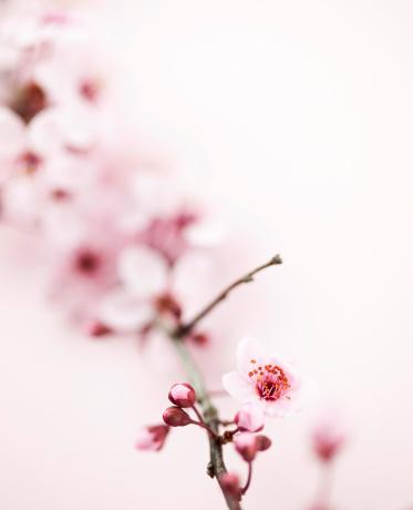 梅の花「桜の」:スマホ壁紙(1)