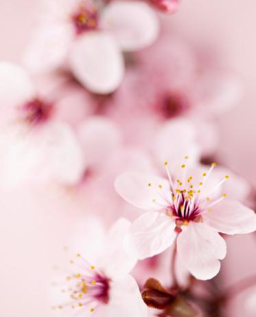 Oriental Cherry Tree「桜の」:スマホ壁紙(10)